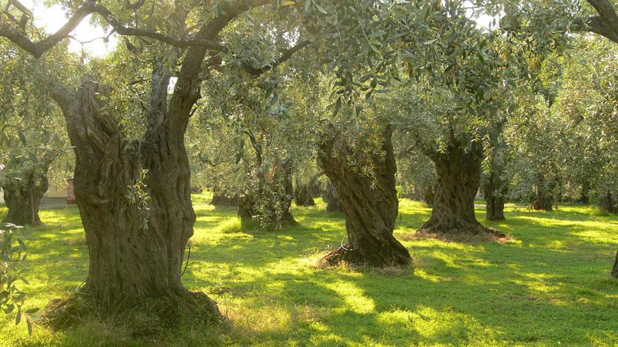 น้ำมันมะกอก_Olive_Tree